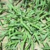 Preemergence Herbicide Applications for Crabgrass Control