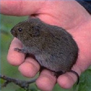 Vole in Michigan